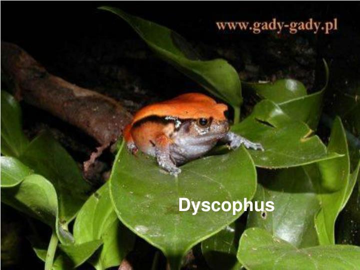 Dyscophus