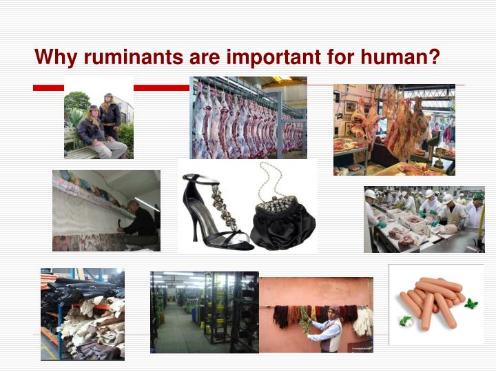 Why ruminants are important for human?