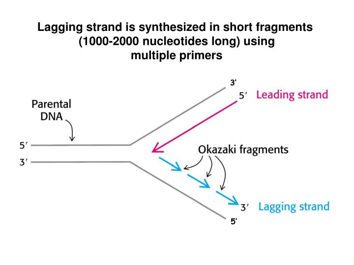 Lagging strand is synthesized in short fragments
