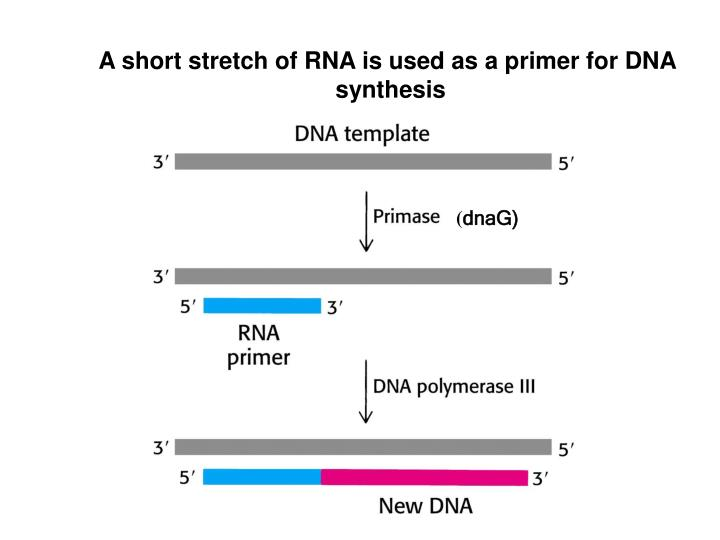 A short stretch of RNA is used as a primer for DNA