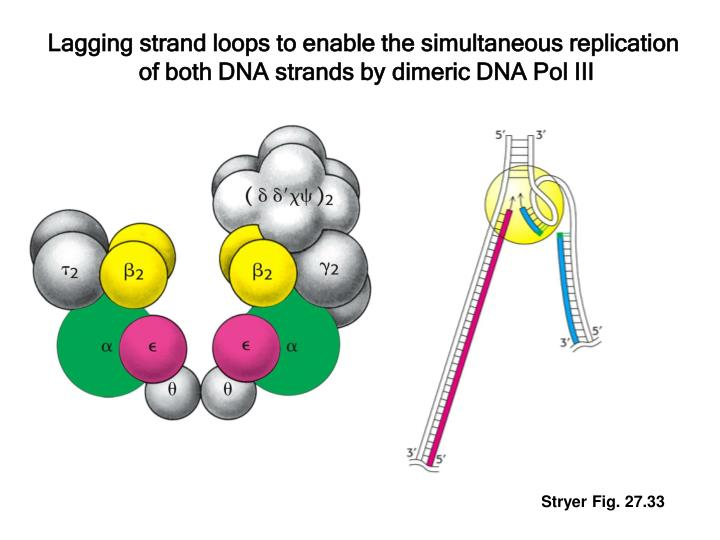 Lagging strand loops to enable the simultaneous replication