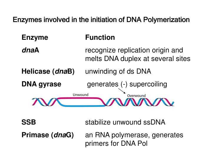 Enzymes involved in the initiation of DNA Polymerization