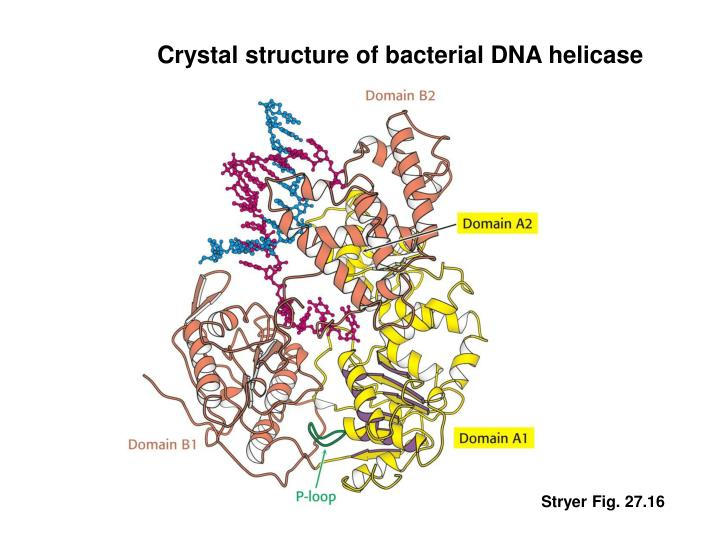 Crystal structure of bacterial DNA helicase