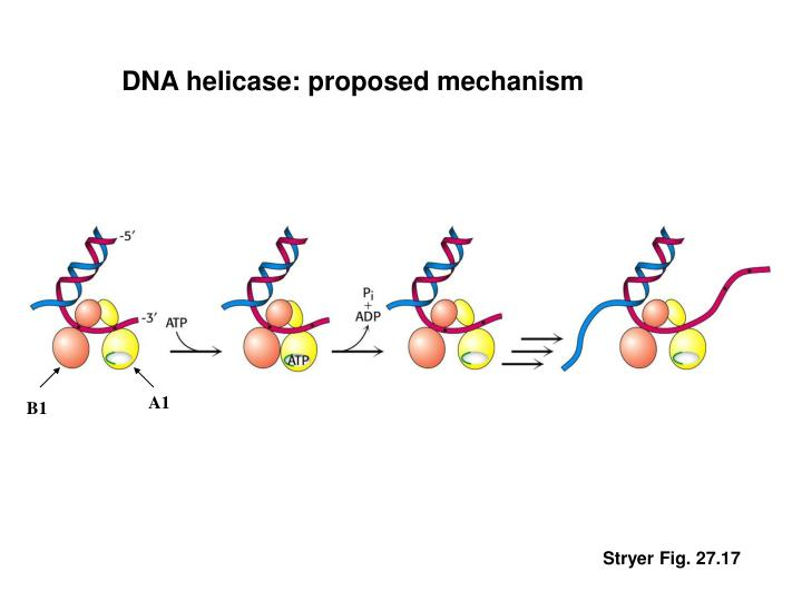 DNA helicase: proposed mechanism