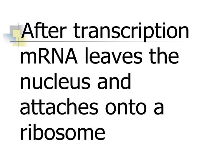 After transcription mRNA leaves the nucleus and attaches onto a ribosome