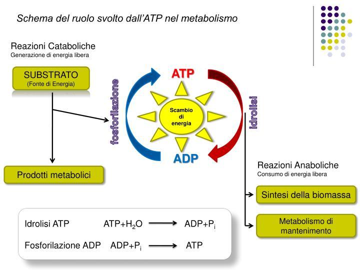 Schema del ruolo svolto dall'ATP nel metabolismo