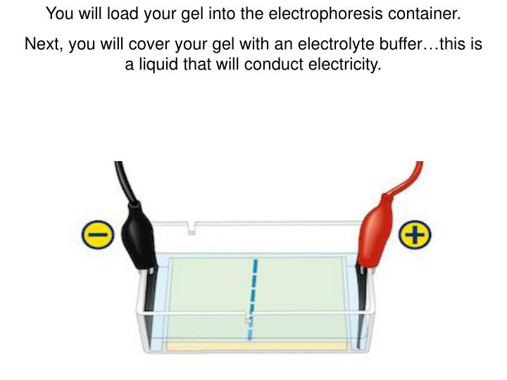 You will load your gel into the electrophoresis container.