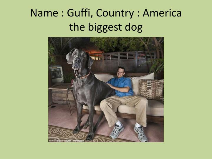 Name guffi country america the biggest dog