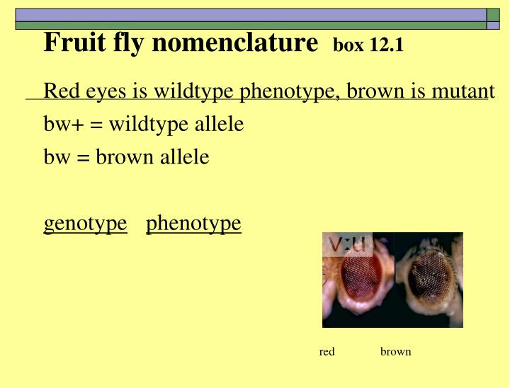 Fruit fly nomenclature