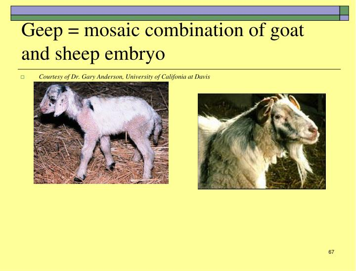 Geep = mosaic combination of goat and sheep embryo