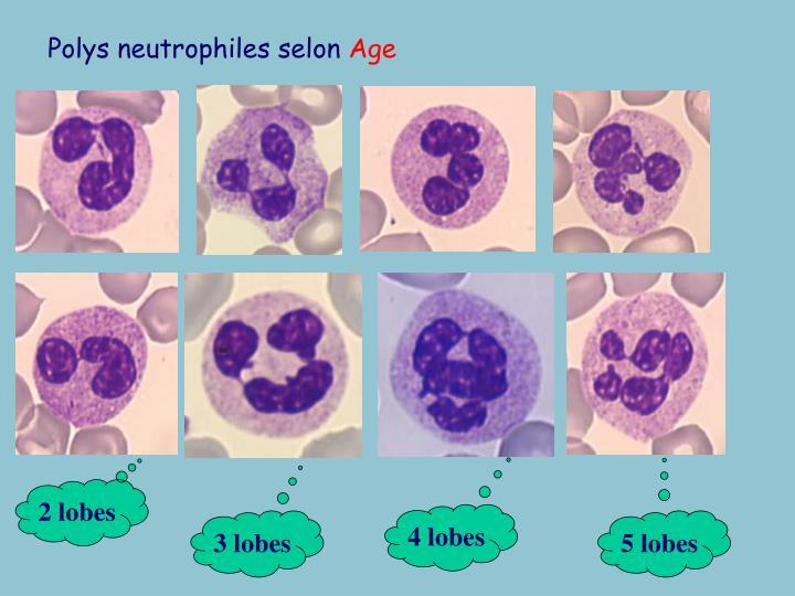 Polys neutrophiles selon