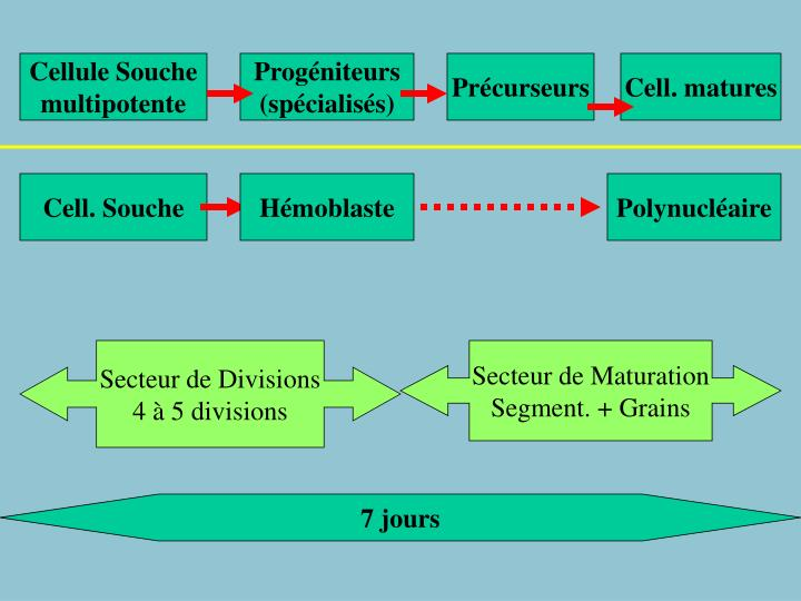 Cellule Souche