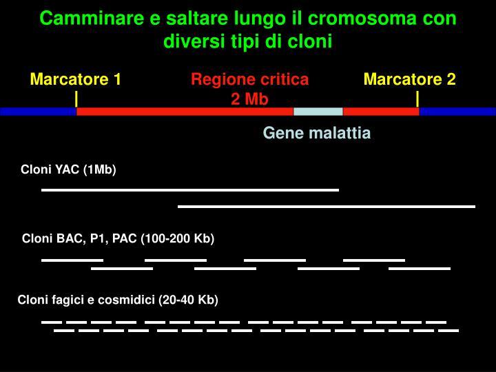 Camminare e saltare lungo il cromosoma con diversi tipi di cloni