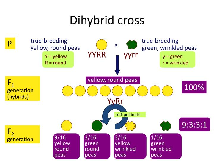 PPT - Dihybrid Crosses and Law of Independent Assortment ...