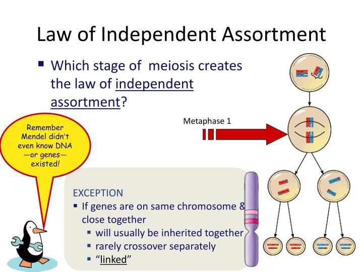 Independent Assortment Of Homologous Chromosomes Pictures ...
