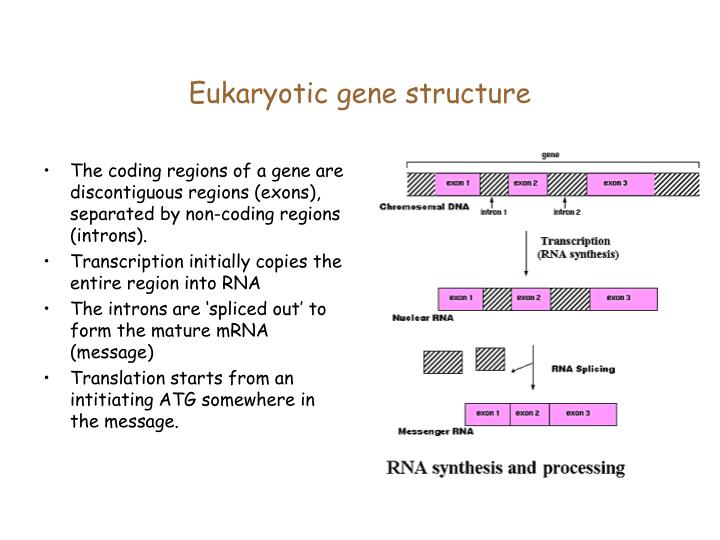 Eukaryotic gene structure