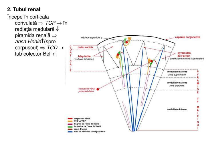 2. Tubul renal