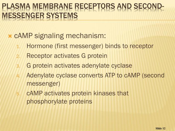 cAMP signaling mechanism: