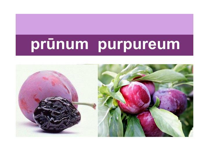 prūnum  purpureum