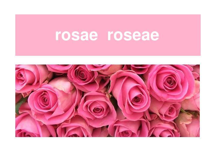 rosae  roseae