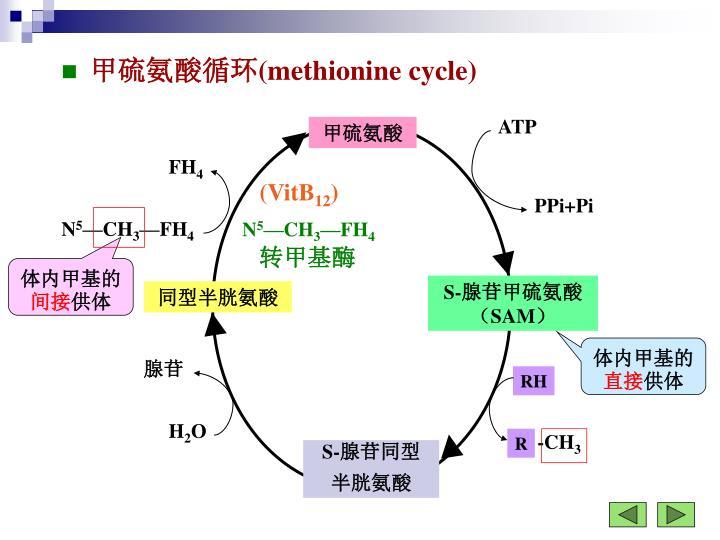 甲硫氨酸循环