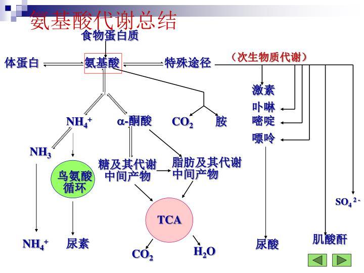 氨基酸代谢总结