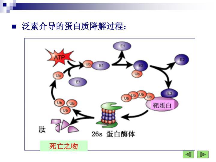 泛素介导的蛋白质降解过程: