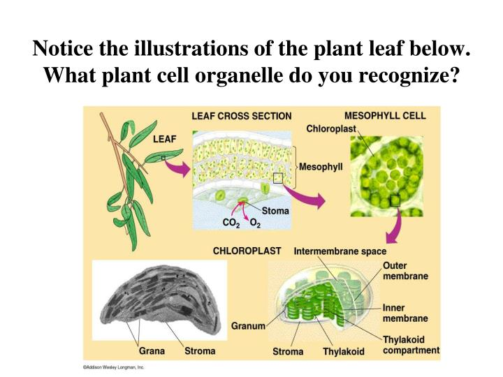 Notice the illustrations of the plant leaf below what plant cell organelle do you recognize