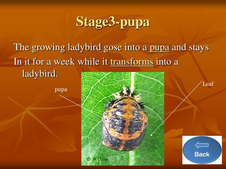 Stage3-pupa