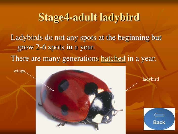 Stage4-adult ladybird