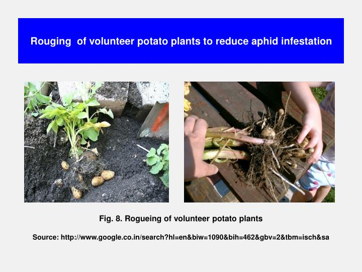 Rouging  of volunteer potato plants to reduce aphid infestation