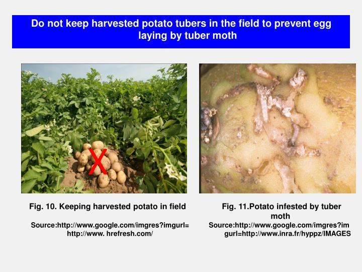 Do not keep harvested potato tubers in the field to prevent egg laying by tuber moth