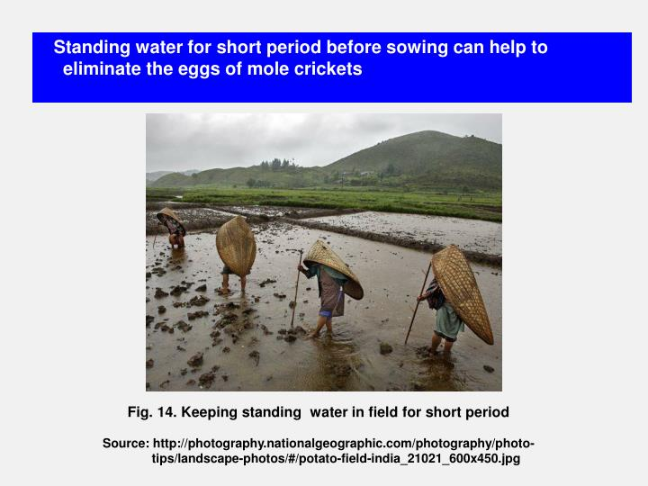 Standing water for short period before sowing can help to eliminate the eggs of mole crickets