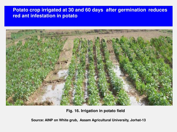 Potato crop irrigated at 30 and 60 days  after germination