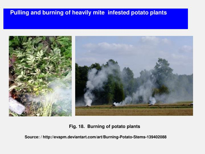 Pulling and burning of heavily mite  infested potato plants