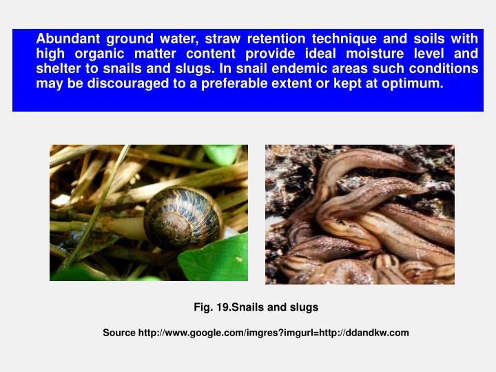 Abundant ground water, straw retention technique and soils with high organic matter content provide ideal moisture level and shelter to snails and slugs. In snail endemic areas such conditions may be discouraged to a preferable extent or kept at optimum.