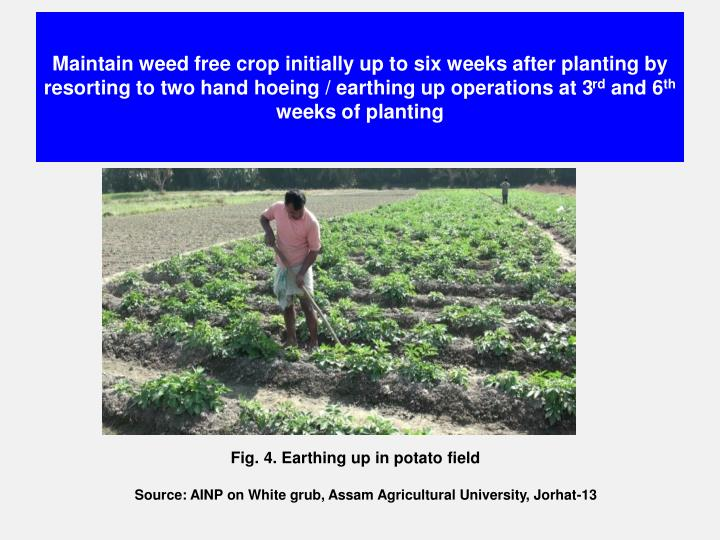 Maintain weed free crop initially up to six weeks after planting by resorting to two hand hoeing / earthing up operations at 3
