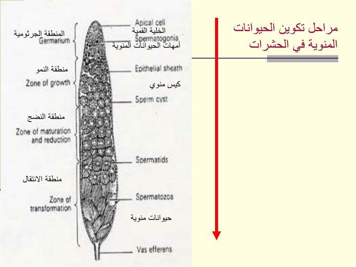 مراحل تكوين الحيوانات المنوية في الحشرات