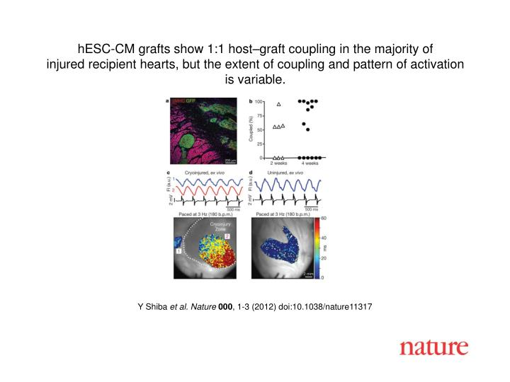 HESC-CM grafts show 1:1 host–graft coupling in the majority of