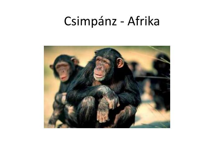 Csimpánz - Afrika