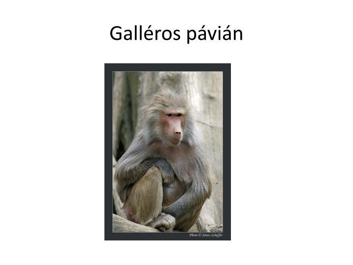 Galléros pávián