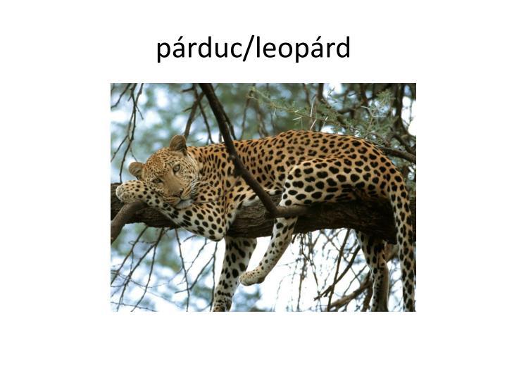 párduc/leopárd