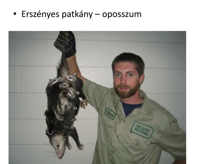 Erszényes patkány – oposszum