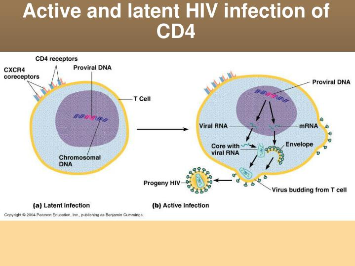 Active and latent HIV infection of CD4