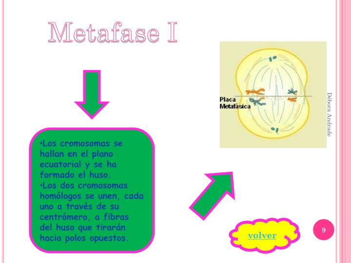 Metafase I