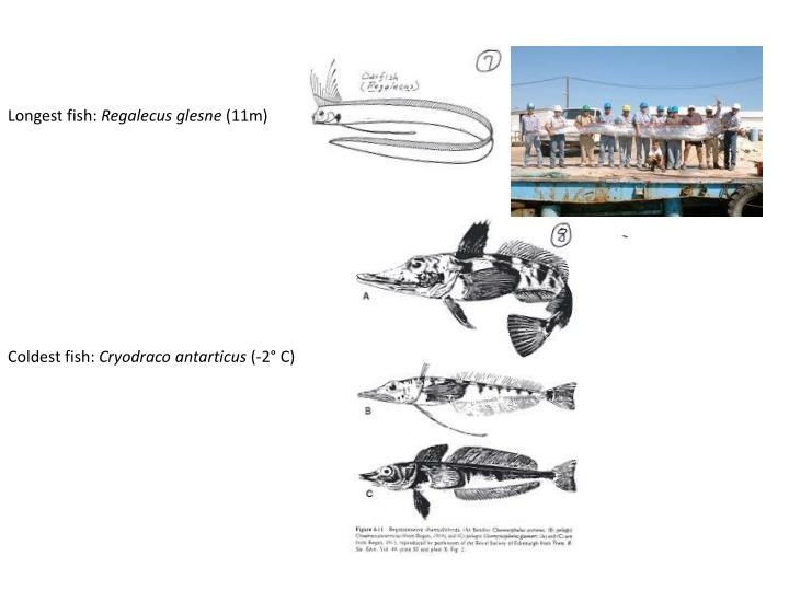 Longest fish: