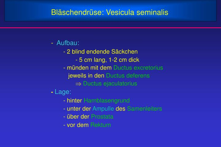 Bläschendrüse: Vesicula seminalis