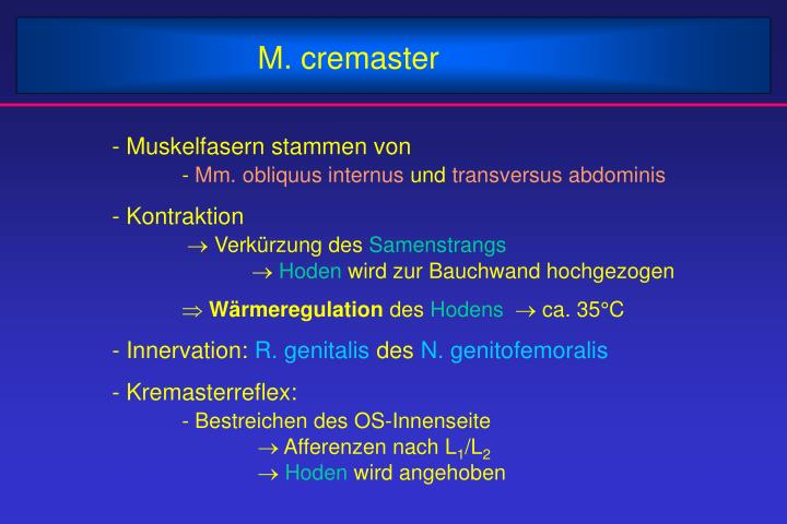 M. cremaster