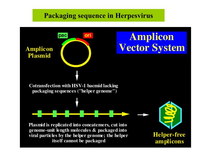 Packaging sequence in Herpesvirus