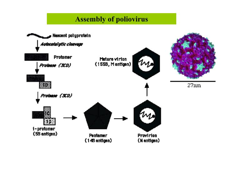 Assembly of poliovirus